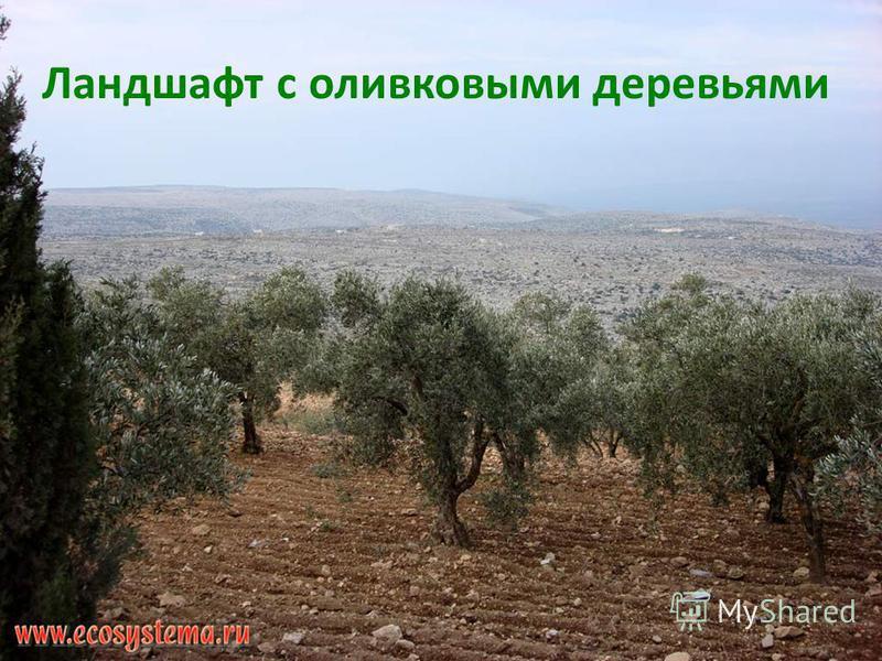 Ландшафт с оливковыми деревьями