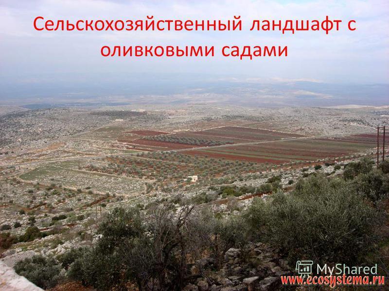 Сельскохозяйственный ландшафт с оливковыми садами