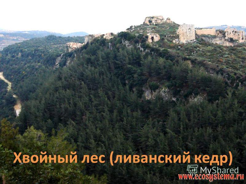 Хвойный лес (ливанский кедр)