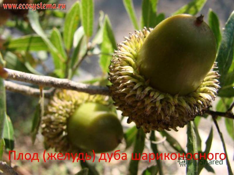 Плод (желудь) дуба шариконосного