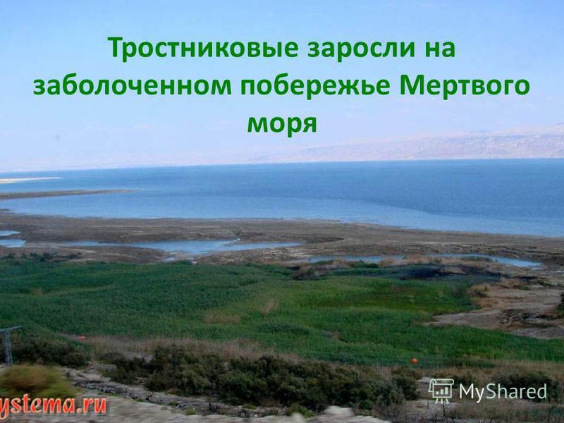 Тростниковые заросли на заболоченном побережье Мертвого моря