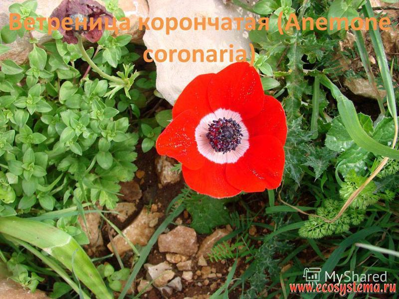 Ветреница корончатая (Anemone coronaria)