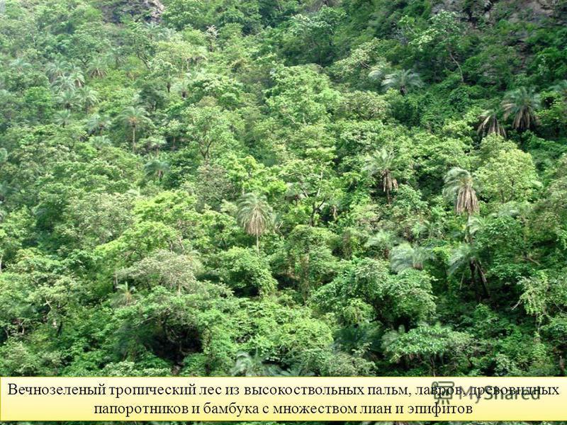 Вечнозеленый тропический лес из высокоствольных пальм, лавров, древовидных папоротников и бамбука с множеством лиан и эпифитов