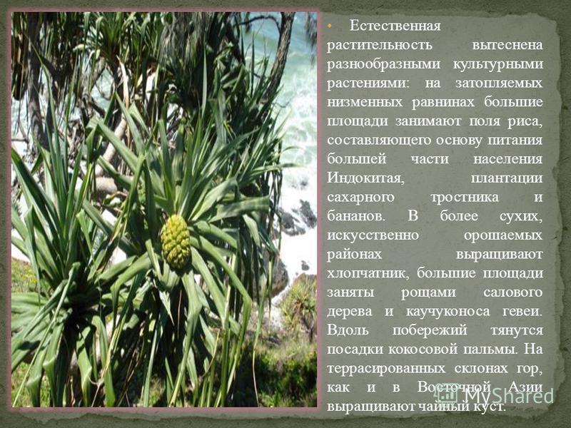 Естественная растительность вытеснена разнообразными культурными растениями: на затопляемых низменных равнинах большие площади занимают поля риса, составляющего основу питания большей части населения Индокитая, плантации сахарного тростника и бананов