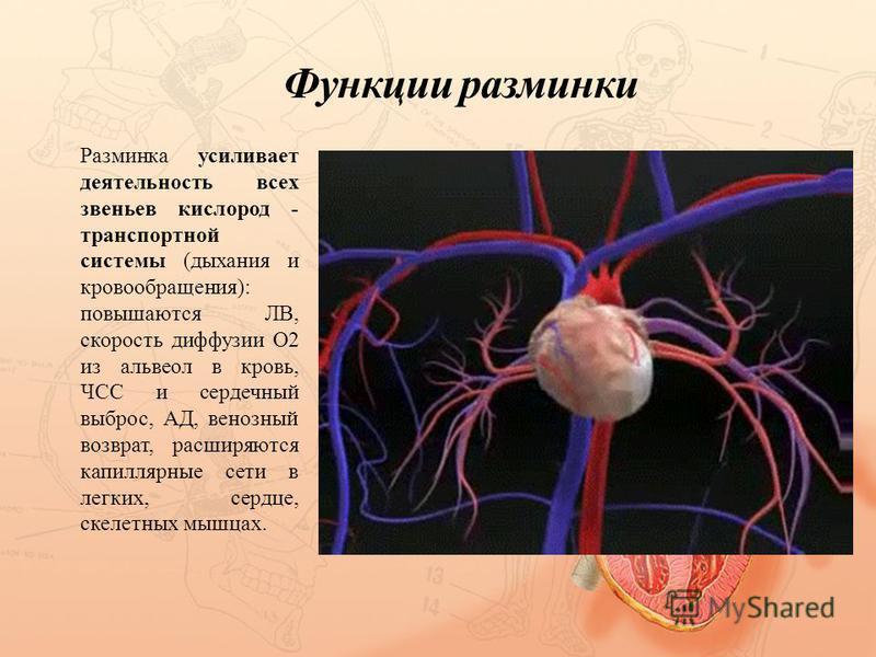 Функции разминки Разминка усиливает деятельность всех звеньев кислород - транспортной системы (дыхания и кровообращения): повышаются ЛВ, скорость диффузии О2 из альвеол в кровь, ЧСС и сердечный выброс, АД, венозный возврат, расширяются капиллярные се