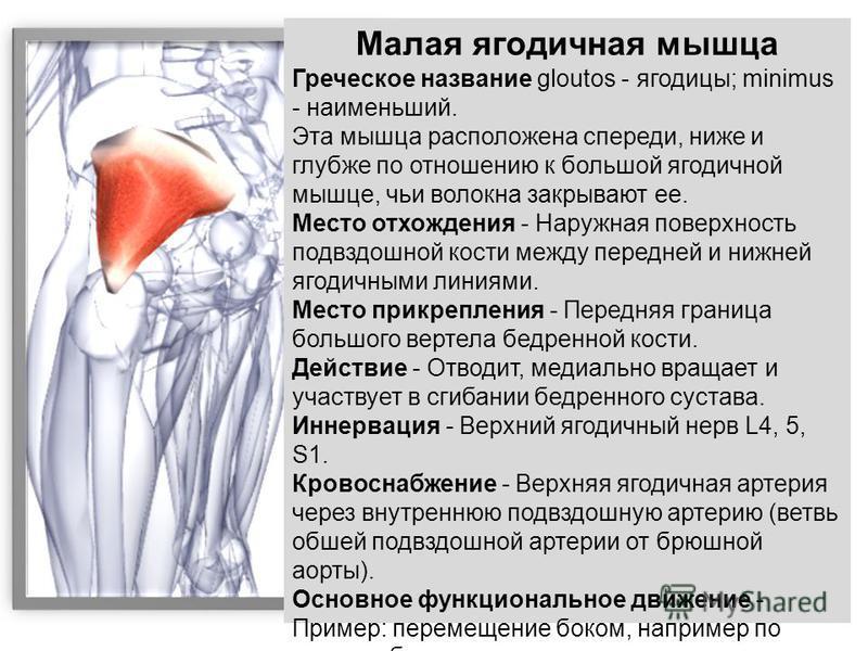 Малая ягодичная мышца Греческое название gloutos - ягодицы; minimus - наименьший. Эта мышца расположена спереди, ниже и глубже по отношению к большой ягодичной мышце, чьи волокна закрывают ее. Место отхождения - Наружная поверхность подвздошной кости
