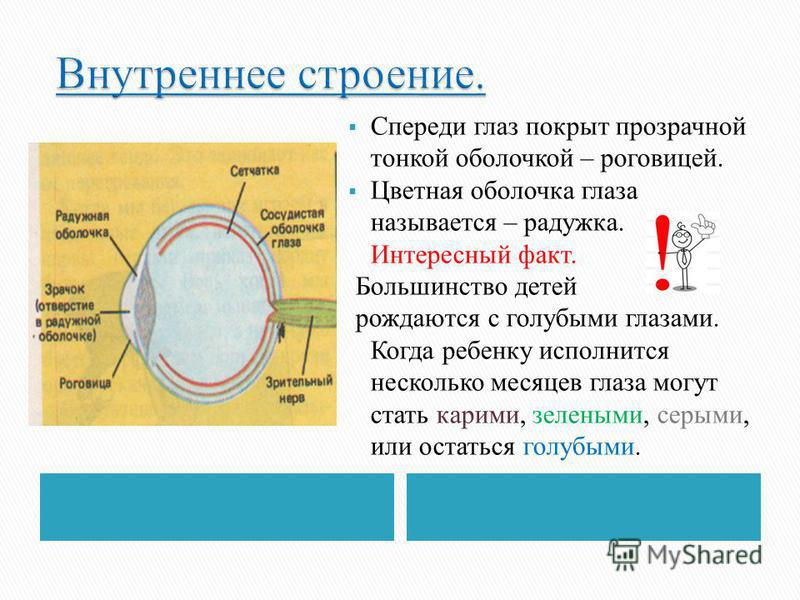 Спереди глаз покрыт прозрачной тонкой оболочкой – роговицей. Цветная оболочка глаза называется – радужка. Интересный факт. Большинство детей рождаются с голубыми глазами. Когда ребенку исполнится несколько месяцев глаза могут стать карими, зелеными,