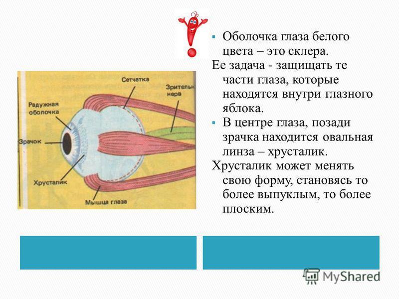 Оболочка глаза белого цвета – это склера. Ее задача - защищать те части глаза, которые находятся внутри глазного яблока. В центре глаза, позади зрачка находится овальная линза – хрусталик. Хрусталик может менять свою форму, становясь то более выпуклы