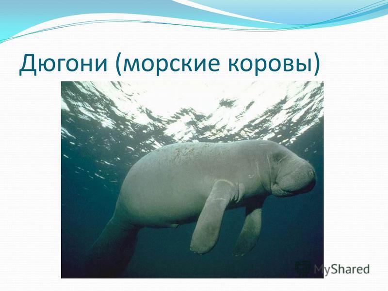 Дюгони (морские коровы)