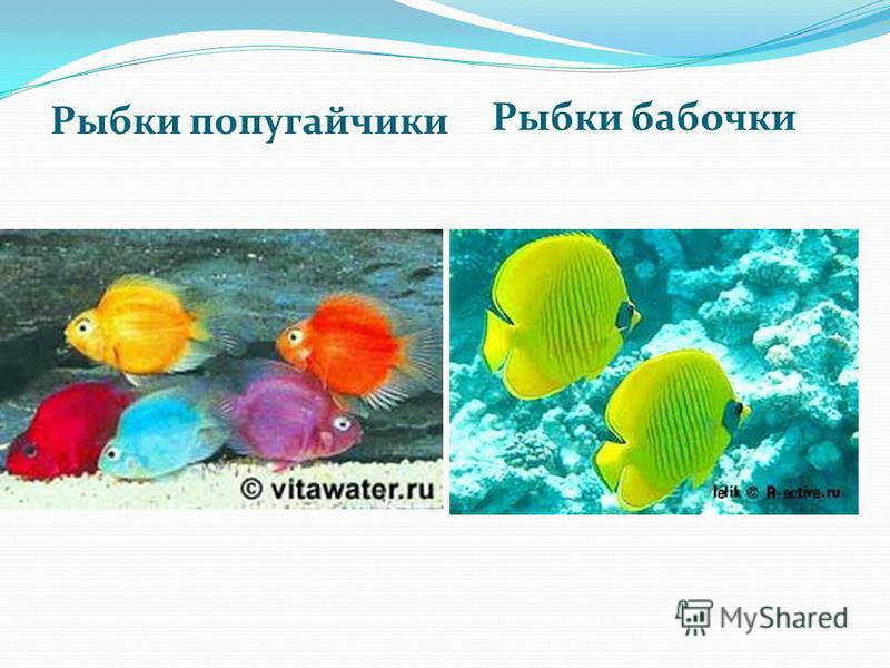 Рыбки бабочки Рыбки попугайчики
