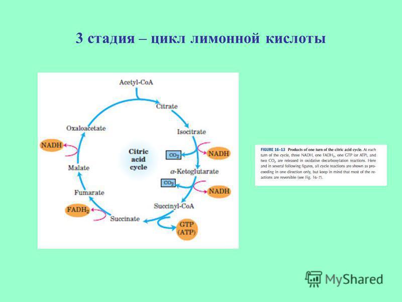 3 стадия – цикл лимонной кислоты