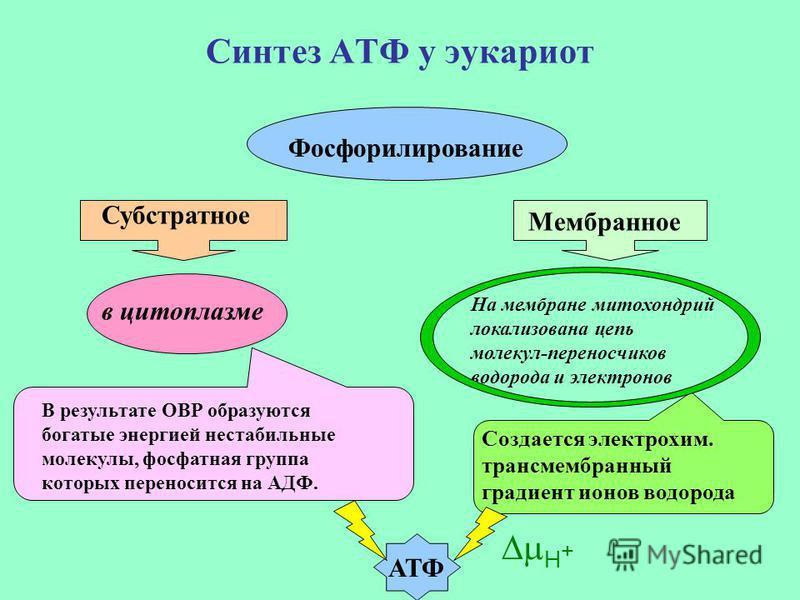 Синтез АТФ у эукариот Фосфорилирование Субстратное в цитоплазме Мембранное На мембране митохондрий локализована цепь молекул-переносчиков водорода и электронов В результате ОВР образуются богатые энергией нестабильные молекулы, фосфатная группа котор