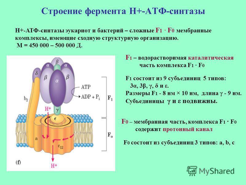 Строение фермента Н+-АТФ-синтетазы F 1 – водорастворимая каталитическая часть комплекса F 1 · F 0 F 0 – мембранная часть, комплекса F 1 · F 0 содержит протонный канал F 1 состоит из 9 субъединиц 5 типов: 3α, 3β, γ, δ и ε. Размеры F 1 - 8 нм × 10 нм,