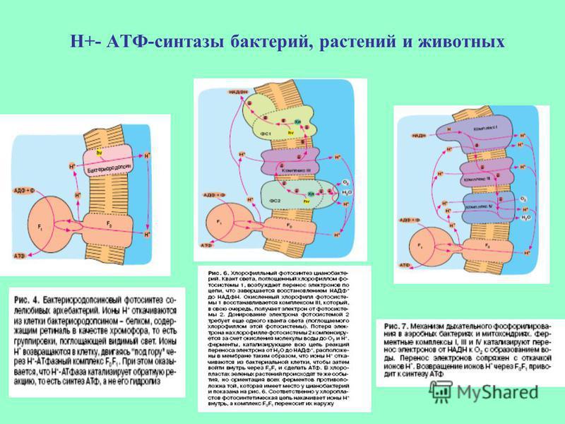 Н+- АТФ-синтетазы бактерий, растений и животных
