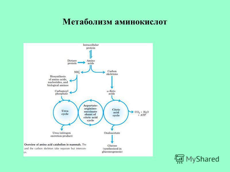 Метаболизм аминокислот