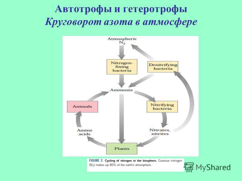 Автотрофы и гетеротрофы Круговорот азота в атмосфере
