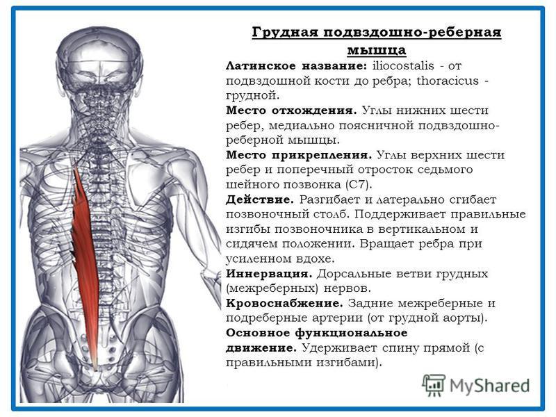 Грудная подвздошно-реберная мышца Латинское название: iliocostalis - от подвздошной кости до ребра; thoracicus - грудной. Место отхождения. Углы нижних шести ребер, медиально поясничной подвздошно- реберной мышцы. Место прикрепления. Углы верхних шес