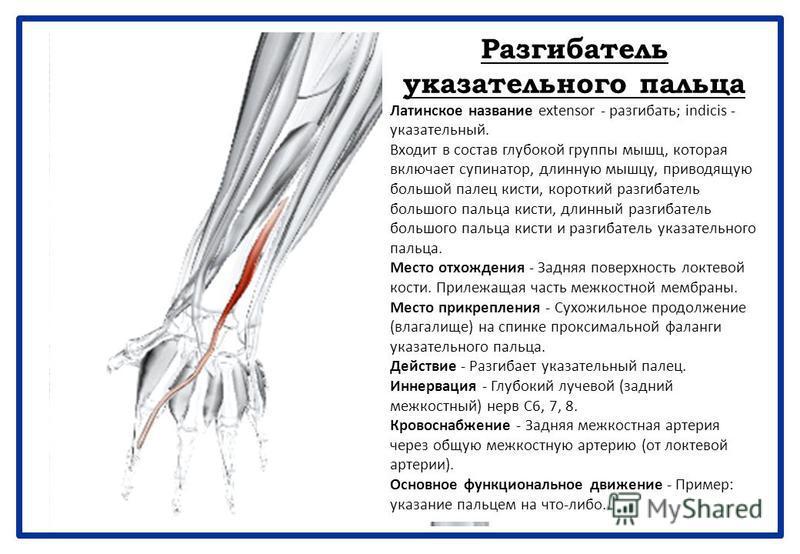 Разгибатель указательного пальца Латинское название extensor - разгибать; indicis - указательный. Входит в состав глубокой группы мышц, которая включает супинатор, длинную мышцу, приводящую большой палец кисти, короткий разгибатель большого пальца ки