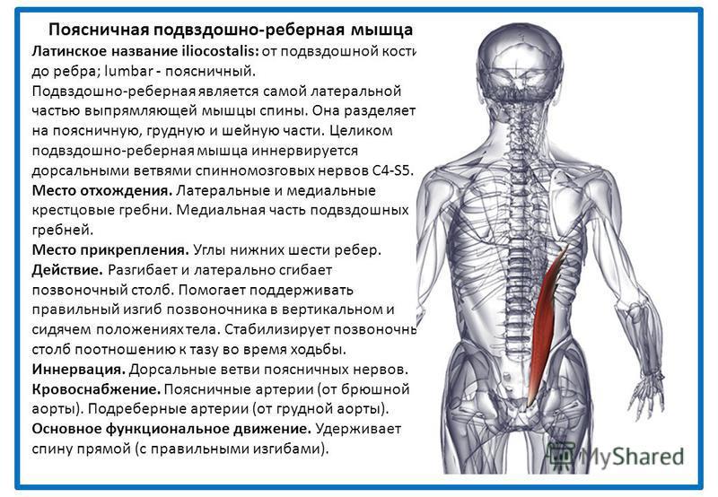 Поясничная подвздошно-реберная мышца Латинское название iliocostalis: от подвздошной кости до ребра; lumbar - поясничный. Подвздошно-реберная является самой латеральной частью выпрямляющей мышцы спины. Она разделяется на поясничную, грудную и шейную