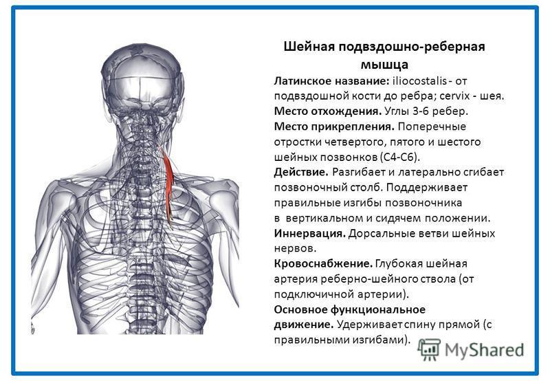 Шейная подвздошно-реберная мышца Латинское название: iliocostalis - от подвздошной кости до ребра; cervix - шея. Место отхождения. Углы 3-6 ребер. Место прикрепления. Поперечные отростки четвертого, пятого и шестого шейных позвонков (С4-С6). Действие