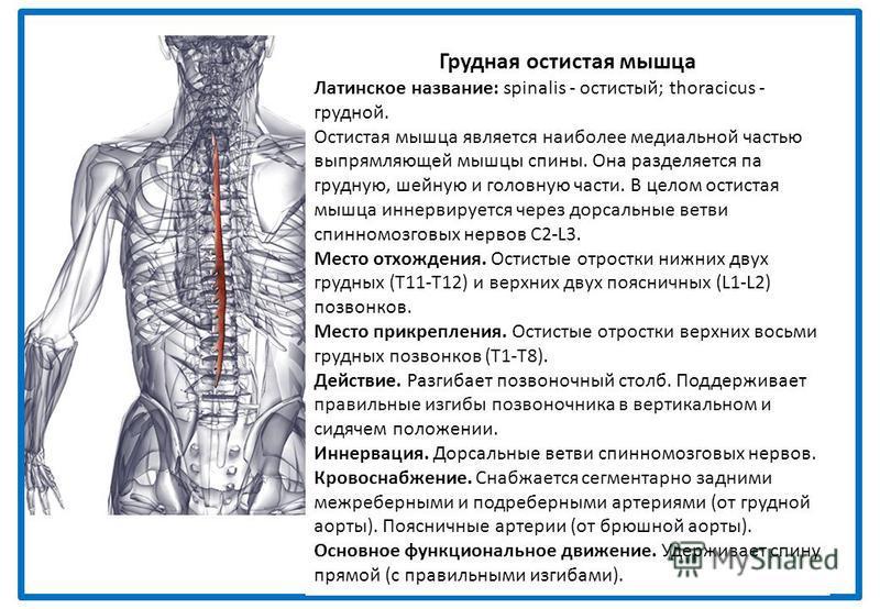 Грудная остистая мышца Латинское название: spinalis - остистый; thoracicus - грудной. Остистая мышца является наиболее медиальной частью выпрямляющей мышцы спины. Она разделяется па грудную, шейную и головную части. В целом остистая мышца иннервирует