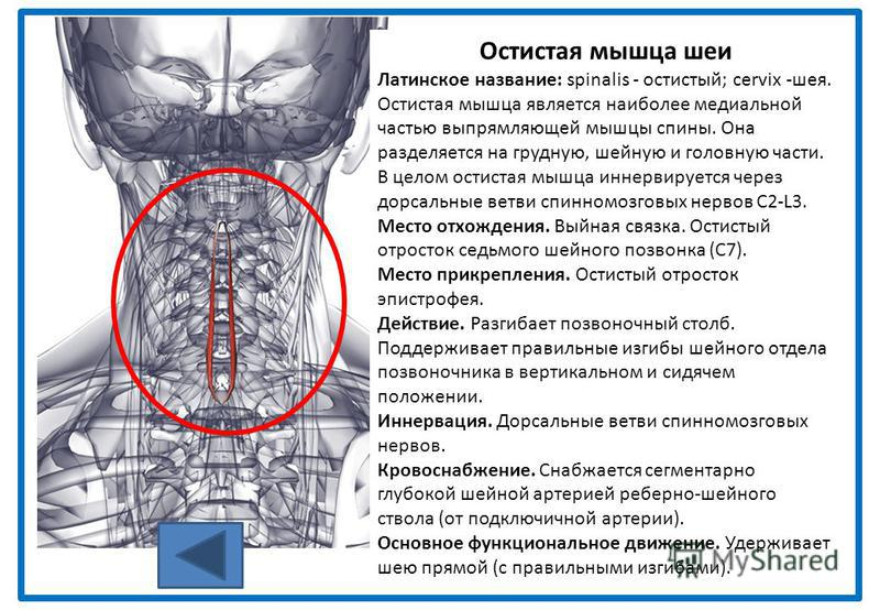 Остистая мышца шеи Латинское название: spinalis - остистый; cervix -шея. Остистая мышца является наиболее медиальной частью выпрямляющей мышцы спины. Она разделяется на грудную, шейную и головную части. В целом остистая мышца иннервируется через дорс