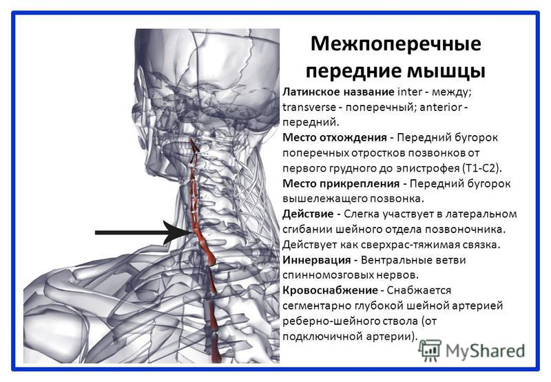 Межпоперечные передние мышцы Латинское название inter - между; transverse - поперечный; anterior - передний. Место отхождения - Передний бугорок поперечных отростков позвонков от первого грудного до эпистрофея (Т1-С2). Место прикрепления - Передний б