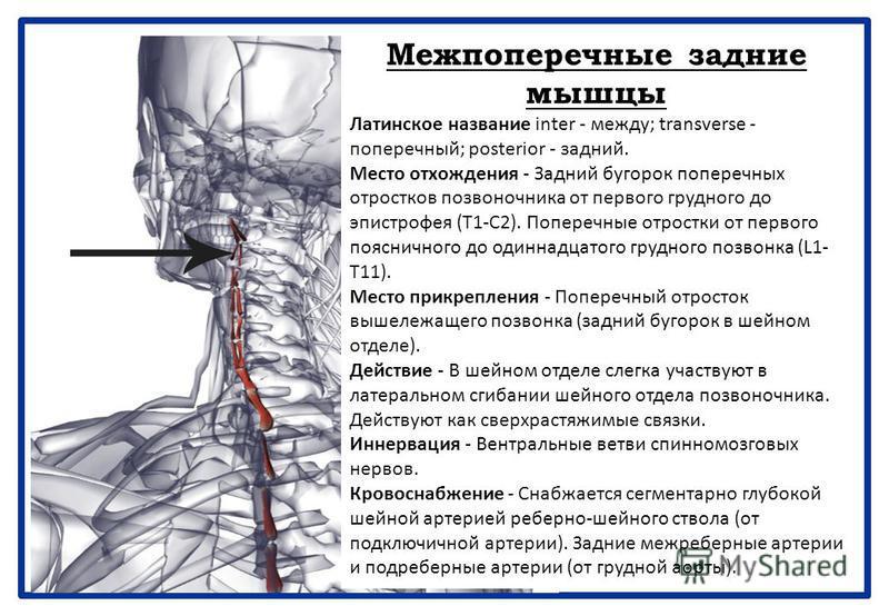 Межпоперечные задние мышцы Латинское название inter - между; transverse - поперечный; posterior - задний. Место отхождения - Задний бугорок поперечных отростков позвоночника от первого грудного до эпистрофея (Т1-С2). Поперечные отростки от первого по