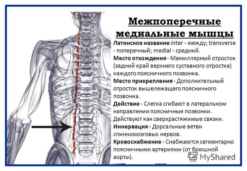 Межпоперечные медиальные мышцы Латинское название inter - между; transverse - поперечный; medial - средний. Место отхождения - Мамиллярный отросток (задний край верхнего суставного отростка) каждого поясничного позвонка. Место прикрепления - Дополнит