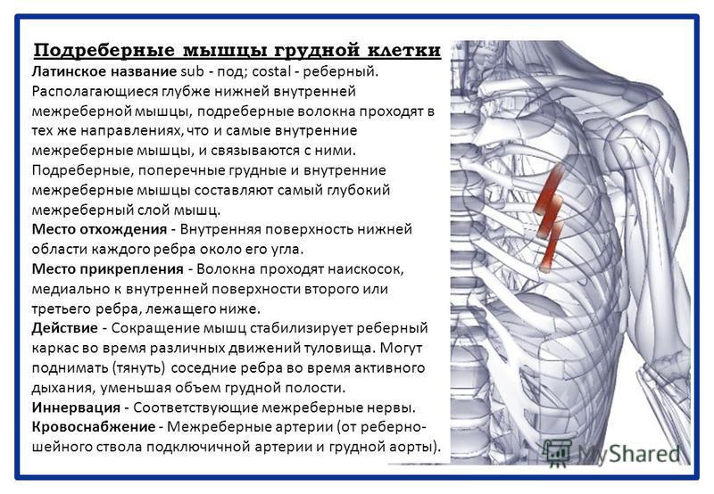 Подреберные мышцы грудной клетки Латинское название sub - под; costal - реберный. Располагающиеся глубже нижней внутренней межреберной мышцы, подреберные волокна проходят в тех же направлениях, что и самые внутренние межреберные мышцы, и связываются