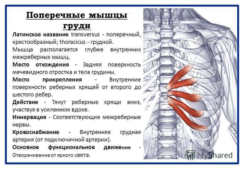 Поперечные мышцы груди Латинское название transversus - поперечный, крестообразный; thoracicus - грудной. Мышца располагается глубже внутренних межреберных мышц. Место отхождения - Задняя поверхность мечевидного отростка и тела грудины. Место прикреп