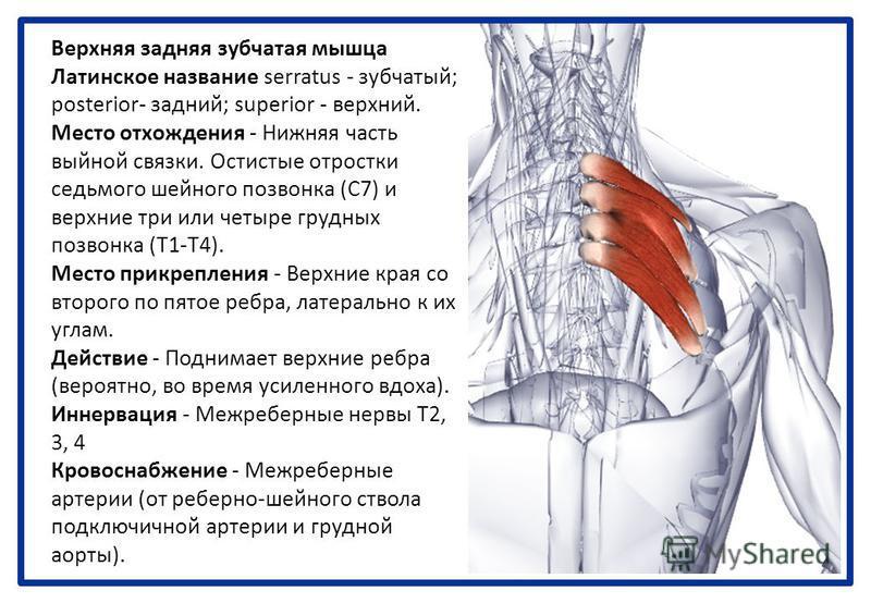 Верхняя задняя зубчатая мышца Латинское название serratus - зубчатый; posterior- задний; superior - верхний. Место отхождения - Нижняя часть выйной связки. Остистые отростки седьмого шейного позвонка (С7) и верхние три или четыре грудных позвонка (Т1