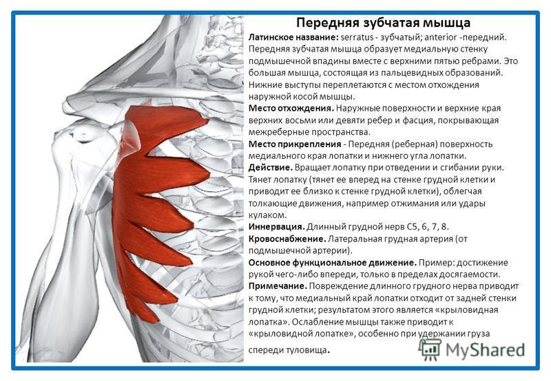 Передняя зубчатая мышца Латинское название: serratus - зубчатый; anterior -передний. Передняя зубчатая мышца образует медиальную стенку подмышечной впадины вместе с верхними пятью ребрами. Это большая мышца, состоящая из пальцевидных образований. Ниж