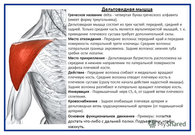 Дельтовидная мышца Греческое название delta - четвертая буква греческого алфавита (имеет форму треугольника). Дельтовидная мышца состоит из трех частей: передней, средней и задней. Только средняя часть является мультиперистой мышцей, т. к. приведение