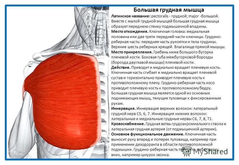 Большая грудная мышца Латинское название: pectoralis - грудной; major -большой. Вместе с малой грудной мышцей большая грудная мышца образует переднюю стенку подмышечной впадины. Место отхождения. Ключичная головка: медиальная половина или две трети п
