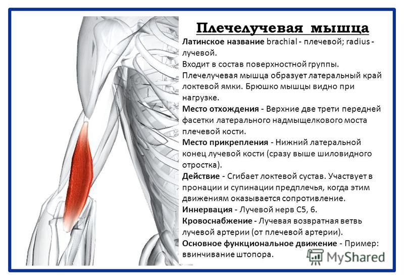 Плечелучевая мышца Латинское название brachial - плечевой; radius - лучевой. Входит в состав поверхностной группы. Плечелучевая мышца образует латеральный край локтевой ямки. Брюшко мышцы видно при нагрузке. Место отхождения - Верхние две трети перед