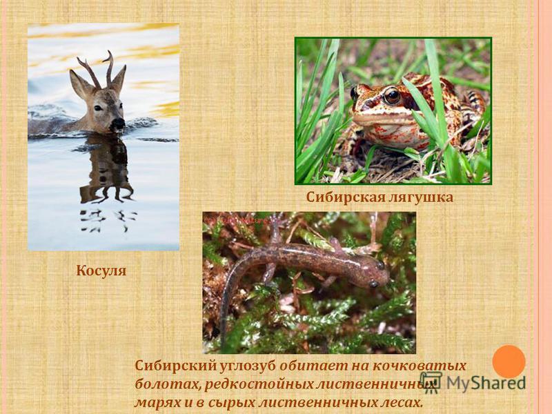Косуля Сибирская лягушка Сибирский углозуб обитает на кочковатых болотах, редкостойных лиственничных марях и в сырых лиственничных лесах.