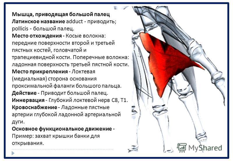 Мышца, приводящая большой палец Латинское название adduct - приводить ; pollicis - большой палец. Место отхождения - Косые волокна : передние поверхности второй и третьей пястных костей, головчатой и трапециевидной кости. Поперечные волокна : ладонна