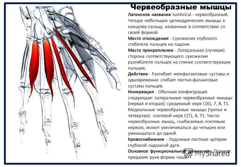 Червеобразные мышцы Латинское название lumbrical - червеобразный. Четыре небольших цилиндрических мышцы к каждому пальцу, названных в соответствии со своей формой. Место отхождения - Сухожилия глубокого сгибателя пальцев на ладони. Место прикрепления