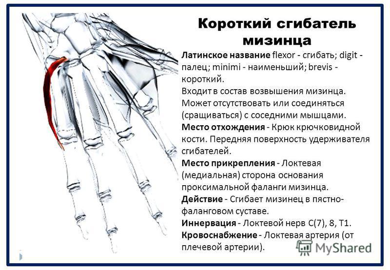 Короткий сгибатель мизинца Латинское название flexor - сгибать ; digit - палец ; minimi - наименьший ; brevis - короткий. Входит в состав возвышения мизинца. Может отсутствовать или соединяться ( сращиваться ) с соседними мышцами. Место отхождения -