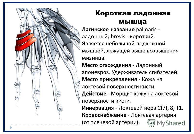 Короткая ладонная мышца Латинское название palmaris - ладонный ; brevis - короткий. Является небольшой подкожной мышцей, лежащей выше возвышения мизинца. Место отхождения - Ладонный апоневроз. Удерживатель сгибателей. Место прикрепления - Кожа на лок