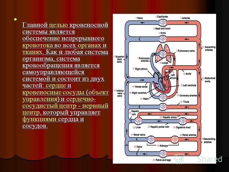 Главной целью кровеносной системы является обеспечение непрерывного кровотока во всех органах и тканях. Как и любая система организма, система кровообращения является самоуправляющейся системой и состоит из двух частей: сердце и кровеносные сосуды (о
