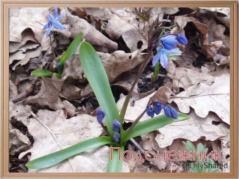 Идет красавица Весна... А под сосной Полузащитный, чуть живой Цветочек нежный, голубой...