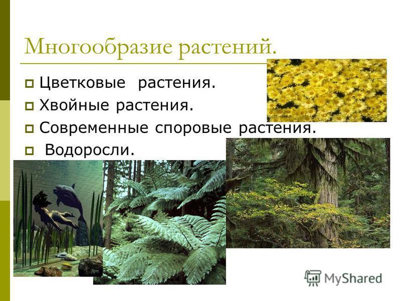 Многообразие растений. Цветковые растения. Хвойные растения. Современные споровые растения. Водоросли.