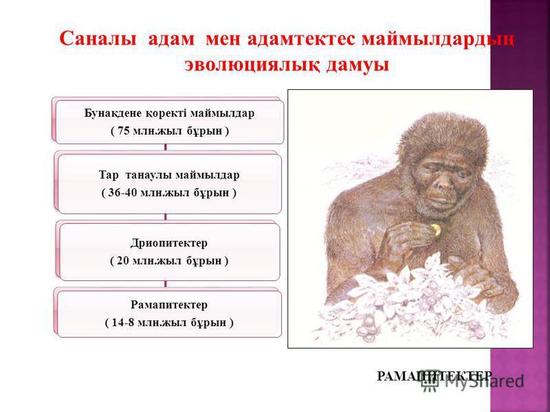 Саналы адам мен адамтектес маймылдардың эволюциялық дамуы Бунақдене қоректі маймылдар ( 75 млн.жыл бұрын ) Тар танаулы маймылдар ( 36-40 млн.жыл бұрын ) Дриопитектер ( 20 млн.жыл бұрын ) Рамапитектер ( 14-8 млн.жыл бұрын ) РАМАПИТЕКТЕР