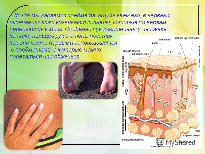 Когда мы касаемся предмета, ощупываем его, в нервных окончаниях кожи возникают сигналы, которые по нервам передаются в мозг. Особенно чувствительны у человека кончики пальцев рук и стопы ног, так как они часто первыми соприкасаются с предметами, о ко