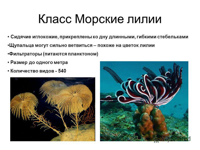 Класс Морские лилии Сидячие иглокожие, прикреплены ко дну длинными, гибкими стебельками Щупальца могут сильно ветвиться – похоже на цветок лилии Фильтраторы (питаются планктоном) Размер до одного метра Количество видов - 540