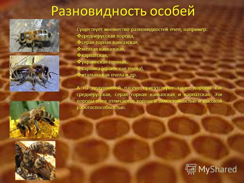 Разновидность особей Существует множество разновидностей пчел, например: среднерусская порода, среднерусская порода, серая горная кавказская, серая горная кавказская, желтая кавказская, желтая кавказская, карпатская, карпатская, ууукраинская степная,