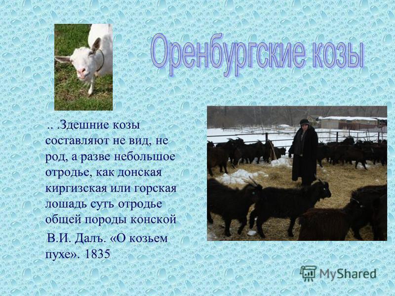 ...Здешние козы составляют не вид, не род, а разве небольшое отродье, как донская киргизская или горская лошадь суть отродье общей породы конской В.И. Далъ. «О козьем пухе». 1835