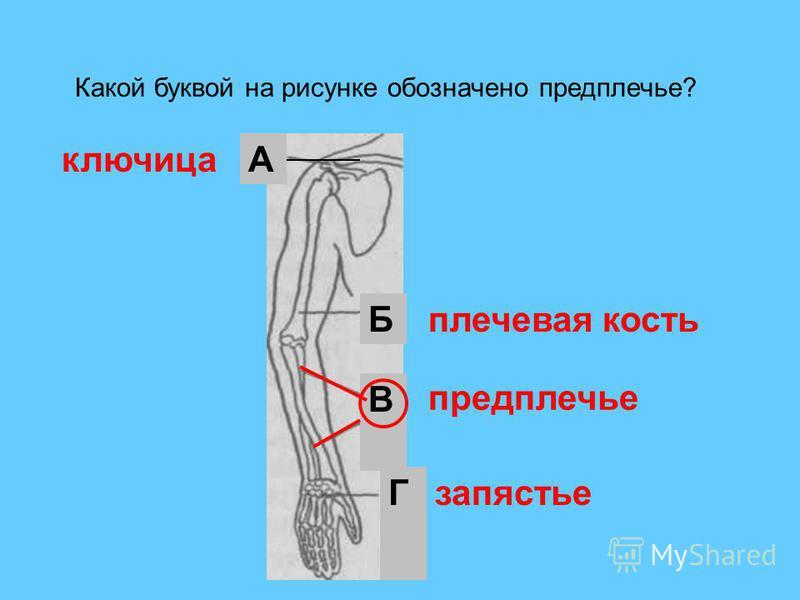В Б А Г Какой буквой на рисунке обозначено предплечье? предплечье ключица плечевая кость запястье